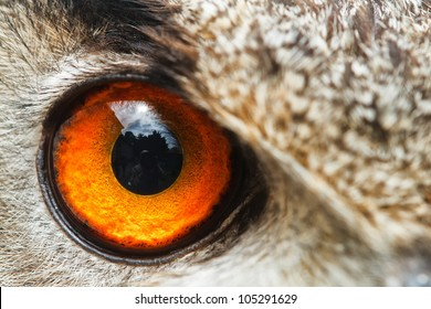 detail right eye owl eagle
