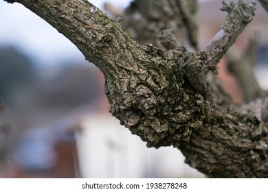Detail of the rough trunk of a Morus alba tree, commonly white mulberry, a species belonging to the genus Morus, family of the Moraceae.