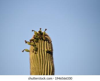 Detail of saguaro cactus with fruit