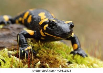 Detail of salamander