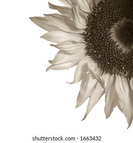 Detail of sepia toned sunflower isolated on white