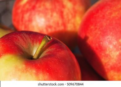 Detail of several ripe apples after harvest.