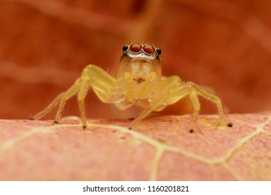 Detail and sharp of jumping spider (Salticidae) 3X magnification macro, Eye and face very clear.
