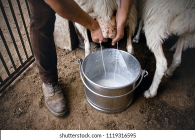 Detail of Shepherd milking sheep by hands, pastoral tradition of Sardinia, second largest island in Italy, Europe.