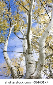 Detail shot of silver birch tree set against a vibrant blue sky