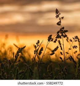 Detail silhouette of grass seed plants standing against summer sunset.