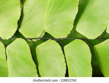 Detail of Silver dollar fern (Adiantum peruvianum)