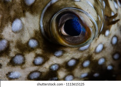 Detail of the skin and eye of a White-spotted pufferfish, Arothron hispidus, on a reef in Wakatobi National Park, Indonesia.