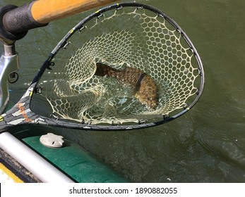 Detail of a Smallmouth Bass in a Lake