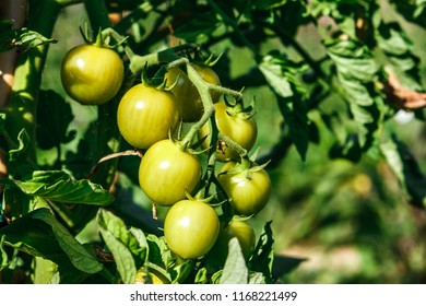 Detail of some ripe green tomatoes in an organic orchard. Coriano, Emilia Romagna, Italy.