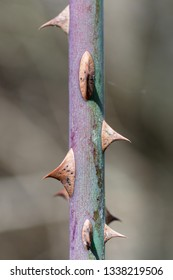 Detail of the stem with thorns. Rosa canina. Wild rose.