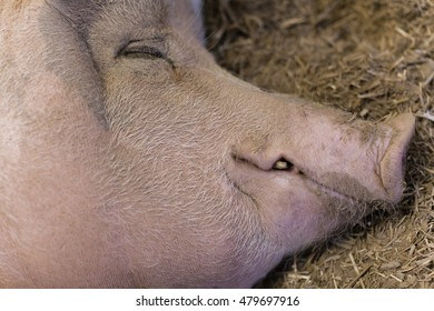 Detail Stock photo of a pig head.