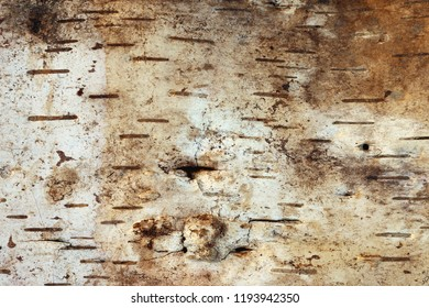 Detail of the strip of birch bark on white background