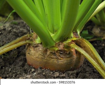 Detail of sugar beet in the soil, green leaves and brown root, feed for animals, bio agriculture, farming in Europe, cultivated black land