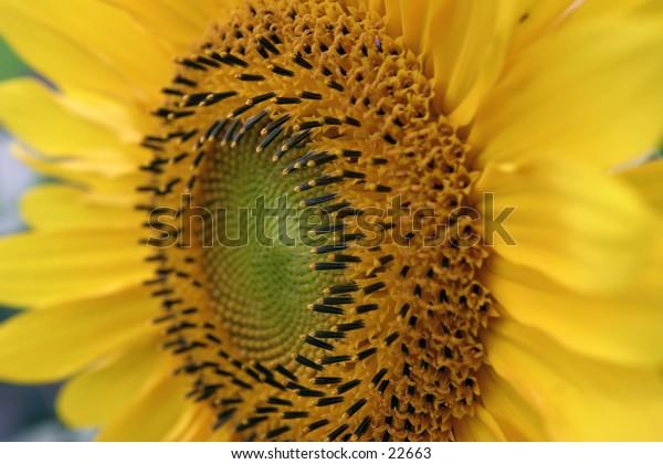 Detail of sunflower.