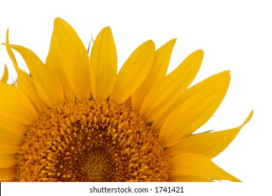 detail of a sunflower with white background