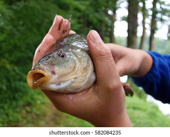 Detail of tench caught in small lake in hands of young fisherman, thumb around gill cover, slimy and shiny fish, fight for life, orange eyes, forest in background