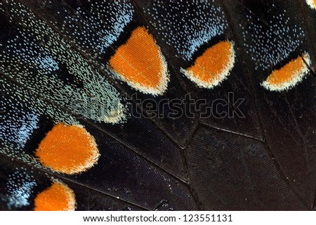 Detail of a Tiger Swallowtail Butterfly wing