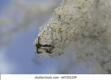 detail of tree branch covered with spider web