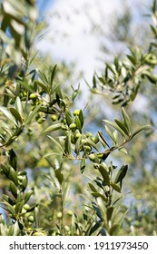 Detail of the tree Olea europaea, commonly called olive, a small evergreen tree, long-lived, which can reach up to 15 m in height, from which the olive and oil are obtained.