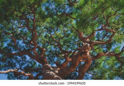 Detail of the treetop of a sunlit japanese black pine in zen garden in Kyoto, Japan