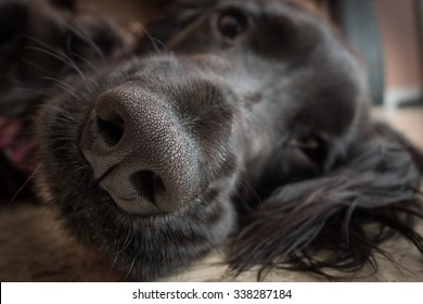detail of truffle nose of a black dog