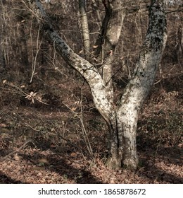 Detail of the trunk of a hornbeam in a forest in northern France. Trunk which separates into two large forms. Dichotomy. Lichens on the bark and undergrowth of young leafless oaks during winter.