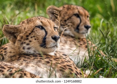 Detail of two cheetahs looking same direction