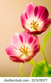 detail of two pink tulip flower