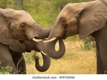 Detail of two wrestling African Bush Elephants, Loxodonta africana. South Africa, Timbavati game reserve