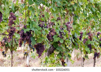 Detail of a typical European vineyard, Red Grapes on the Vine
