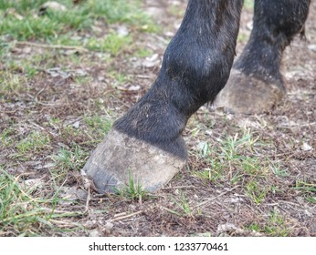 Detail of unshod horse hoof. Horse hoof without horseshoe close up on green grass background