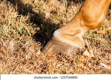 Detail of unshod horse hoof. Horse hoof without horseshoe close up on dry grass