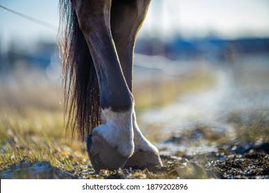 Detail of unshod horse hoof. Horse hoof without horseshoe