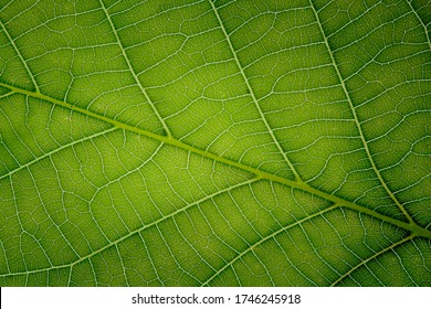 Detail of the vains of a leaf