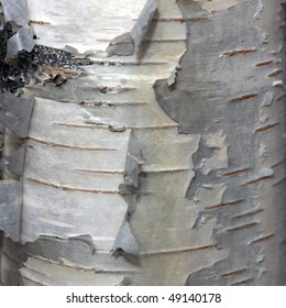 Detail view of a bark of a birch