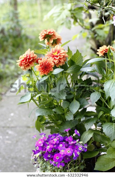 Detail view - beauty blooming violet and orange flower astra in garden.