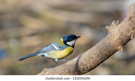 Detail view of a bird of the Great Tit, Parus Major