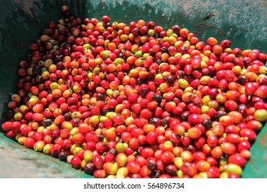 A detail view of coffee cherries captured near the city of Piura, region called Jijili. In the north of Peru, 2011.