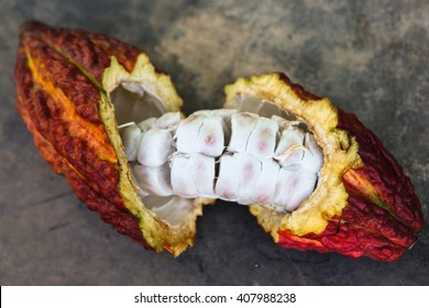 A detail view of a cut opened cocoa pod in Huayhuantillo village near Tingo Maria in Peru, 2011
