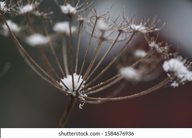 Detail view of Heracleum mantegazzianum on edge of forest. Known as giant hogweed or cartwheel-flower. Dry and snowed plant in the winter.