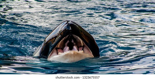 detail view from a Orca with open mouth