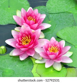 Detail view of three pink water lilies.