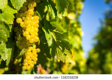 Detail view of vineyard with ripe grapes. Fresh home-grown grapes ready for harvest. Golden evening light. Shallow depth of field.