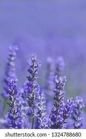 Detail of violet blue lavender flowers