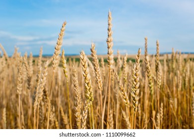 Detail of Wheat Field Before the Harvest.