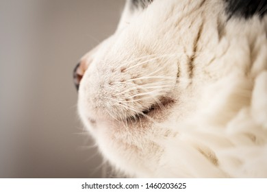Detail of whiskers and mouth of white cat