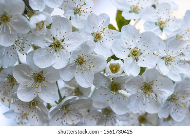 detail of white cherry blossoms