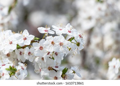 detail of white cherry blossoms in spring