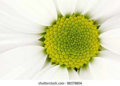 Detail of a white chrysanthemum flowers with yellow center